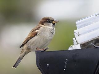 Fotoväggar - House sparrow, Passer domesticus