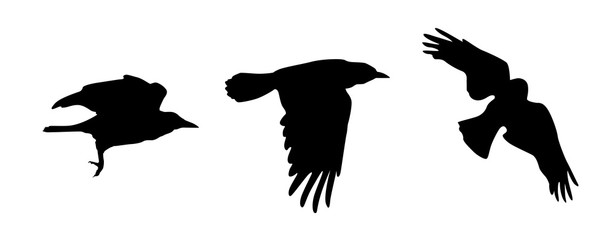 Black vector silhouettes of flying crow isolated on white background