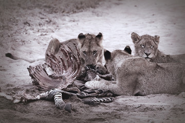 Pack of South African lions eating at a killed zebra in the Kruger National Park, South Africa