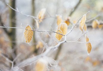 Frost covered Beech leaves and branches.
