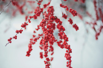 Red Winterberry in the winter