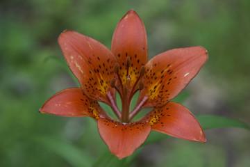 Rare Siberian flower wild Lily closeup.