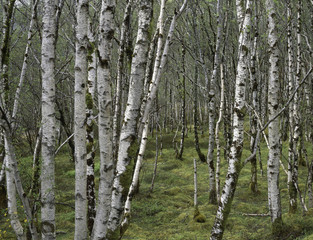 grove forest of silver birch (betula pendula) in wester ross Scotland springtime moss mossy