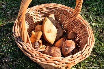 Mushrooms in basket. Mushroom picking in a forest during the autumn in nature. An inedible mushroom growing. Sickener, russula emetica, mushroom with orange cap, toadstools, brown mushroom, boletus.