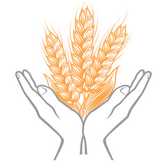 Ripe ears of wheat in open palms. Harvesting of wheat icon or logo template.