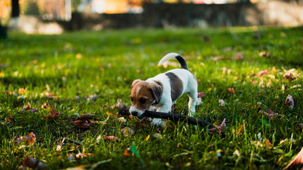 cute brown-white puppy holding a stick