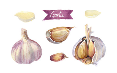 Garlic bulbs and cloves isolated on white watercolor illustration