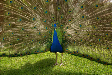 Peacock strutting feathers in full display