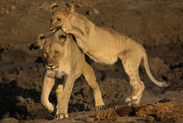 Cub attacking lioness 2