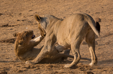 Lionesses fighting
