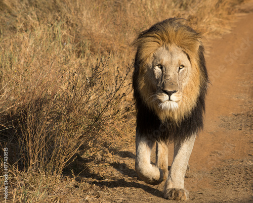 lion walking stock photo and royalty free images on fotolia com