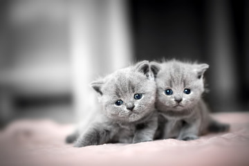 Two cute kittens cuddle each other. British Shorthair