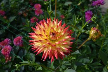Dahlia jaune et rouge ua jardin en été