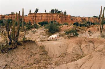 A white horse in Desert Tatacoa in Colombia