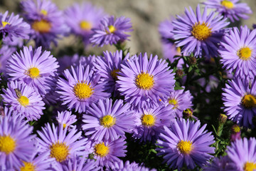 Fleabane or Erigeron with blue flowers on flowerbed. Daisies with blue petals and bright yellow centers