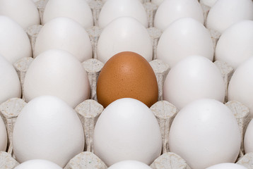 One brown chicken egg in a tray with white eggs