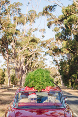 Teenage girl with her dog in the back window of a small red car with a christmas tree on the roof in Australia
