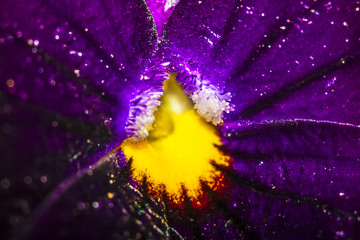 coeur de violette vue en macro