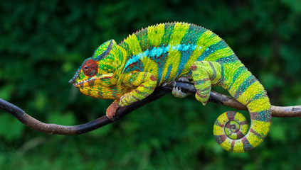 Deurstickers Kameleon Panther chameleon Furcifer pardalis Ambilobe 2 years old endemic from madagascar