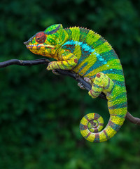 Panther chameleon Furcifer pardalis Ambilobe 2 years old endemic from madagascar