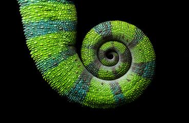 Chameleon spiral tail, Panther chameleon, Furcifer pardalis Ambilobe