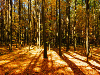 beautiful autumnal beech forest in sunset