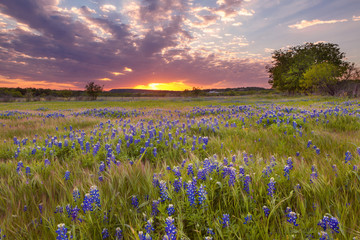 Photo sur cadre textile Texas Bluebonnets blossom under the painted Texas sky in Marble Falls, TX