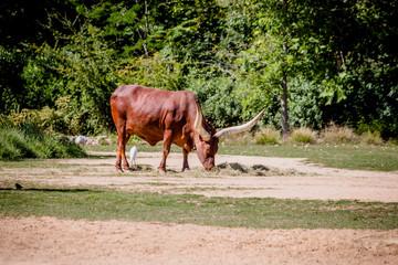 Watusi au Parc de la Tête d'or à Lyon