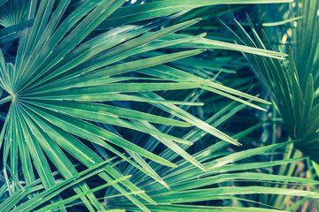 Tropical background of palm leafs