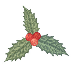 Vintage engraving Holly plant with berries.