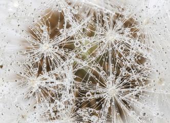 Dewdrops on dandelion seed head, closeup