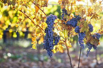 Wine Grapes on Vine In Provence, France