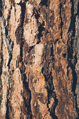 Close up of bark from Ponderosa pine tree