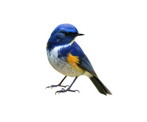 Papiers peints Oiseau Himalayan bluetail or Red-flanked,Orange-flanked bush-robin (Tarsiger rufilatus) lovely blue bird with yellow marking on its wings isolated on white background, fascinated nature
