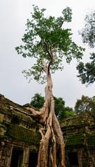 Overgrown tree hangs on side of temple