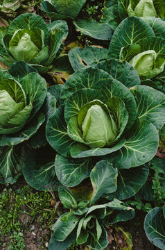 Lush cabbage in a vegetable garden