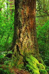 a picture of an Pacific Northwest forest and old growth Douglas fir trees