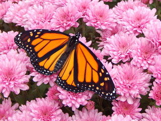 Monarch in the Mums