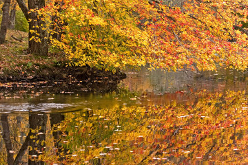 Autumn maple leaves float on a tranquil pond on a rainy October day.
