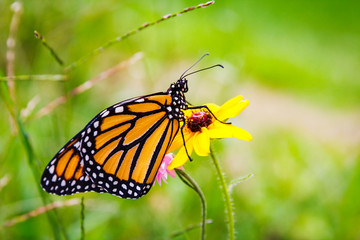 Monarch Butterfly on Flower 5