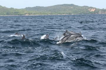 Foto op Aluminium Dolfijn Delfine bei Trincomalee Sri Lanka im Indischen Ozean