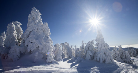 Snow covered pine trees in the high mountains
