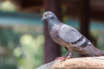 Rock pigeon or Rock dove on a tree branch. Portrait of Rock Pigeon. Bird on a tree branch with nature background.