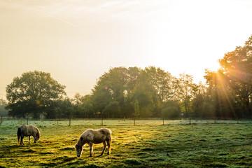 Zwei Pferde grasen auf einer grünen Wiese an einem Herbstmorgen