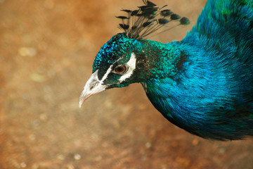 Peacock with blue feathers