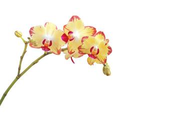 Foto auf AluDibond Orchideen Orchidee zweifarbig