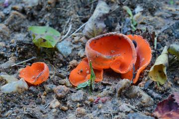 aleuria aurantia fungus