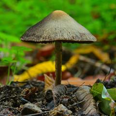 Lacrymaria lacrymabunda mushroom