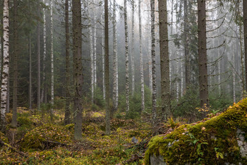 Late fall in Finland. Dark cold foggy morning in forest