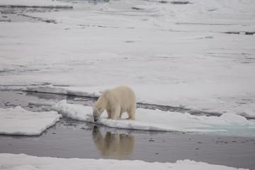 Printed roller blinds Polar bear A polar bear on the edge of the sea ice showing reflection